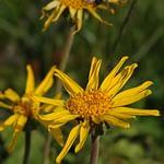 Arnica montana - Wolverlei