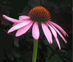 Echinacea purpurea - Rode zonnehoed. Foto: AnneTanne - Creative Commons License
