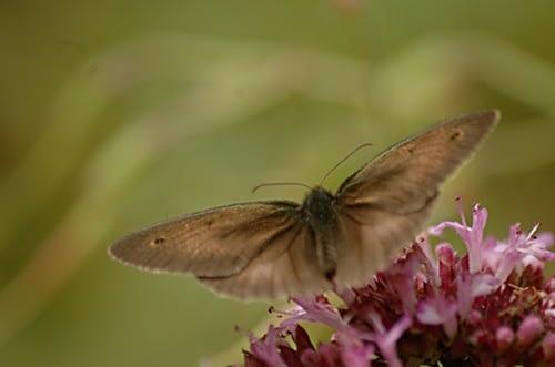 Maniola jurtina | Bruin zandoogje - Meadow brown