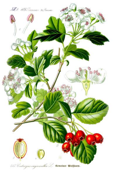 Illustratie van de Meidoorn in de Flora van Thomé