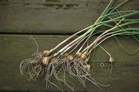 Kraailook - Allium vineale. Foto: AnneTanne - Creative Commonse License