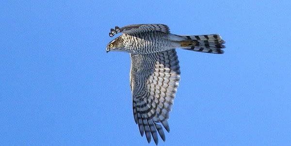 Accipiter nisus   Sperwer - Sparrowhawk   Des Irwin, CC license