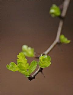 meidoornblad - Crataegus monogyna.  Foto: AnneTanne - Creative Commons License
