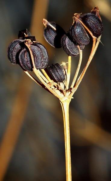 Zwartmoeskervel - zaad