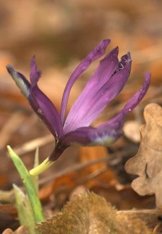 Iris reticulata - Foto: AnneTanne - Creative Commons License