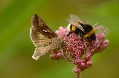 Meetingpoint | Gamma-uil en gewone aardhommel - Silver Y and Buff-tailed Bumblebee