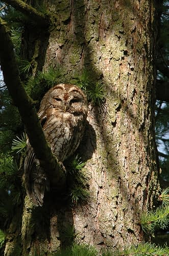 Bosuil - Strix aluco. Foto: Wildaboutburnley - Creative Commons License