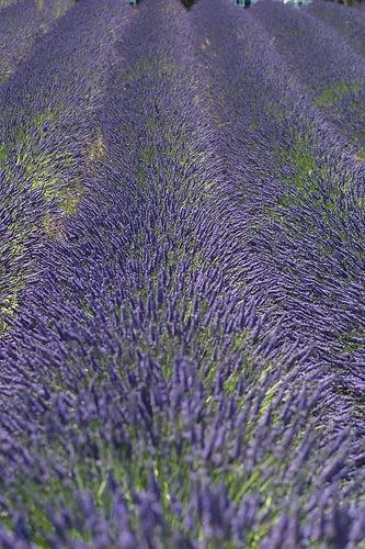 Lavendelveld - Foto: Gregde - Creative Commons License