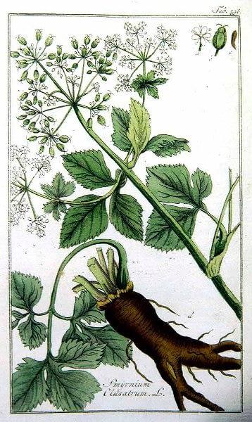 Botanische prent van zwartmoeskervel