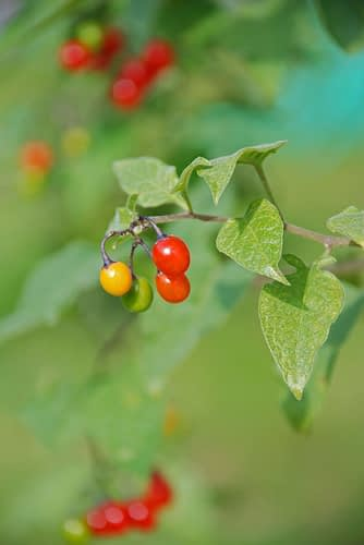Bitterzoet, Solanum dulcamara - Foto: Nuanc, Creative Commons License