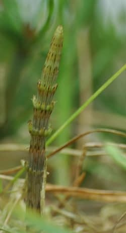 Equisetum arvense - Heermoes. Foto: AnneTanne - Creative Commons License