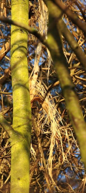 Geschilde linden-takken | Peeled limetree-branches