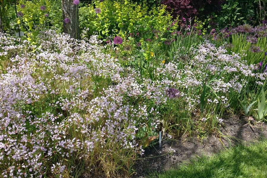 Allium roseum in Merriments