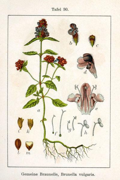 Brunel. Deutschlands Flora in Abbildungen - Sturm (Public domaine)