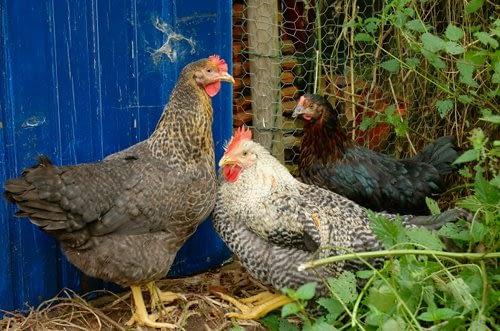 Onze nieuwe kippen - Our newchickens