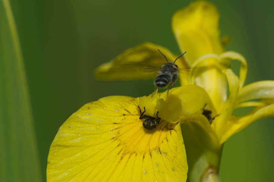 insecten op een gele lis