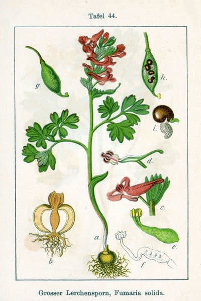 Corydalis solida in 'Deutschlands Flora in Abbildungen', 1796. J.G. Sturm. Public Domain