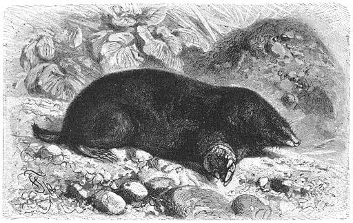 Mol - uit: Het leven der Dieren. Brehm (Public Domain)