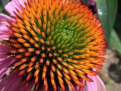 Echinacea purpurea - Rode zonnehoed. Foto: Zeitspuren - Creative Commons License