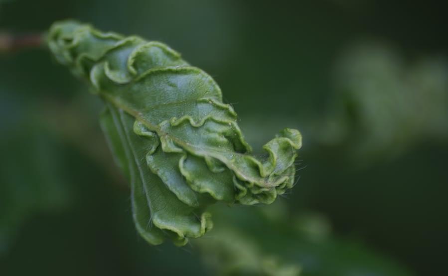 Haagbeukkromnerfmijt   Aculops macrotrichus (detail)