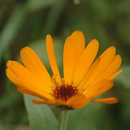 Goudsbloem (Calendula officinalis) in oktober. Foto: AnneTanne, Creative Commons License