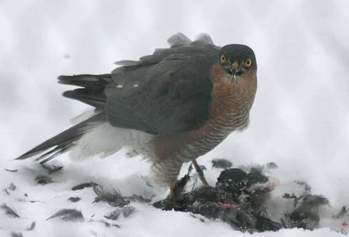 Accipiter nisus | Sperwer - Eurasian sparrowhawk
