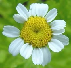 Moederkruid - bloemhoofdje. Foto: Paul Busselen ©