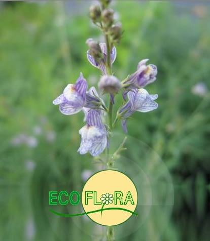 Ecoflora - Kwekerij van wilde planten en kruiden