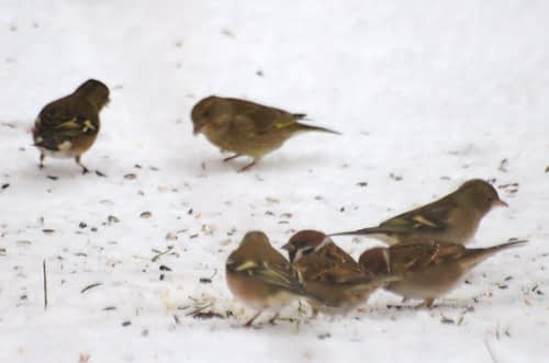 vogels in de sneeuw