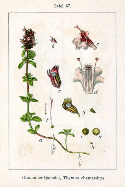 Kruiptijm - Thymus serpyllum. Deutschlands Flora in Abbildungen. Public domain
