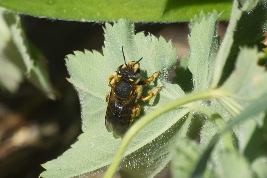 Grote Wolbij – Anthidium manicatum