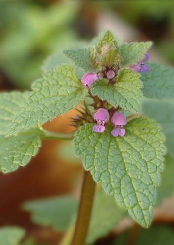 Paarse dovenetel - Lamium purpureum.  Foto: AnneTanne - Creative Commons Licentie
