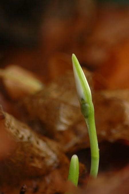 Sneeuwklokje - Galanthus nivalis. Foto: AnneTanne (Creative Commons license)