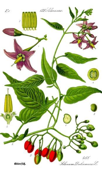 Solanum dulcamara. Prof. Dr. Otto Wilhelm Thomé - Public domain