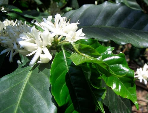 Koffie - Coffea sp. - Foto: Tonx - Creative Commons License