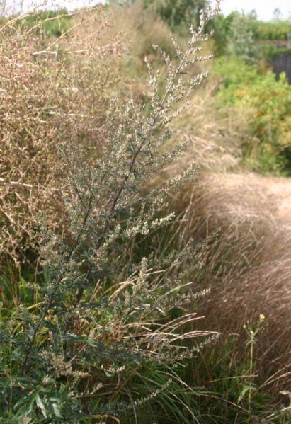 Artemisia vulgaris in zaad. Foto: Sten Porse, GNU free documentation license