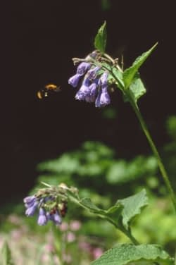 Smeerwortel, Symphytum x uplandicum. Foto: Martin Stevens ©