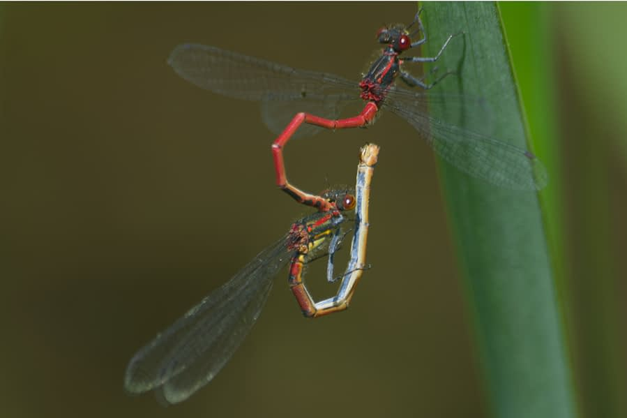 Vuurjuffer | Pyrrhosoma nymphula (copula)