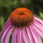 Echinacea purpurea - Rode zonnehoed