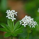 Galium odoratum - Lievevrouwebedstro