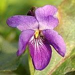 Viola sp. - Viooltjes
