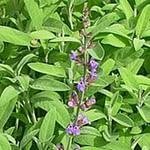 Salvia officinalis - Salie