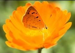 Vuurvliegje op goudsbloem - Martin Stevens ©
