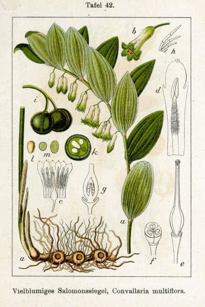 Polygonatum multiflorum. J.G. Sturm - Public domain