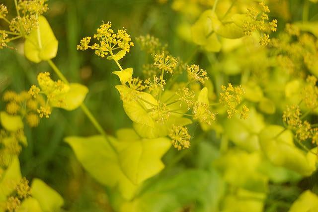 Doorwaskervel - Smyrnium perfoliatum