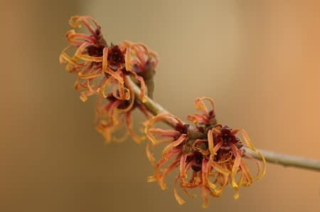 Hamamelis x intermedia 'Jelena' - Foto: AnneTanne - Creative Commons License