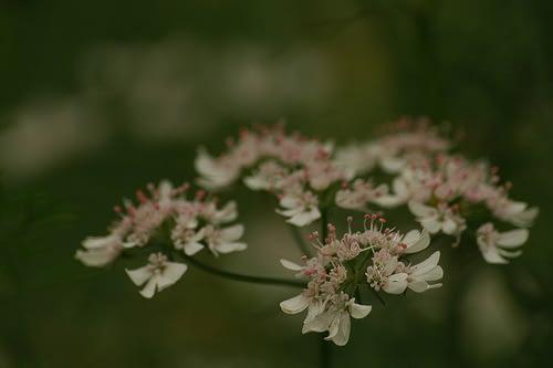 Coriandrum sativum - Koriander