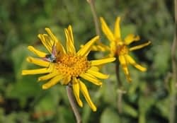 Arnica montana - Wolverlei. Foto: AnneTanne - Creative Commons License