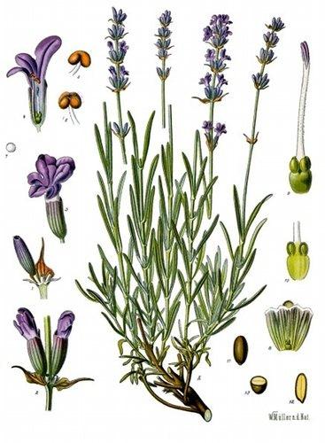Lavandula angustifolia - Köhler's Medizinal-Pflanzen, 1887